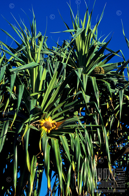Hala tree (Pandanus tectorius), female tree with compound fruit that resembles a pineapple. Leaves used for weaving mats, hats, (sails etc. in ancient times)