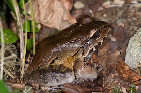 Central American Bullfrog (Leptodactylus pentadactylus), Bocas del Toro, Panama