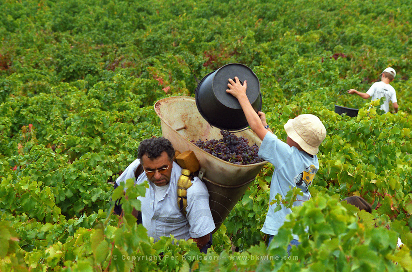A class of school children on an excursion helping with the wine harvest in Collioure, one child emptying a full bucket of Grenache Noir grapes into the carrier's hotte basket, Languedoc-Roussillon, France