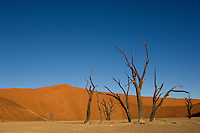 Pale earth, red dunes and blue sky make a dramatic backdrop for the dead camelthorn trees of Dead Vlei. Some of the tree skeletons at Dead Vlei are over 500 years old.