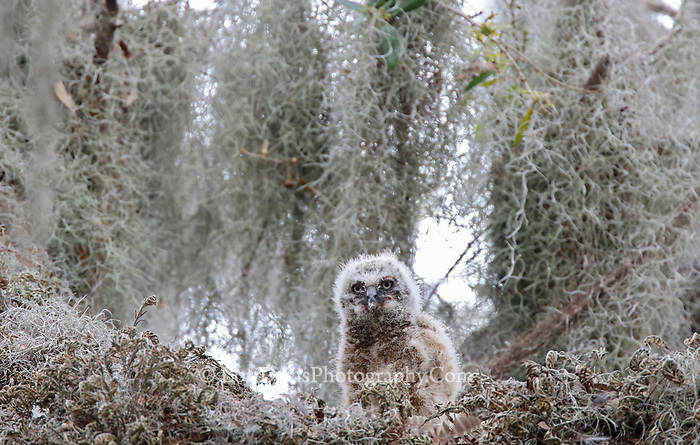 Great horned owl chick in nest