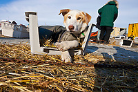 A Ramey Smyth dog rests in a half dog kennel in the dog lot in Nome during the 2010 Iditarod