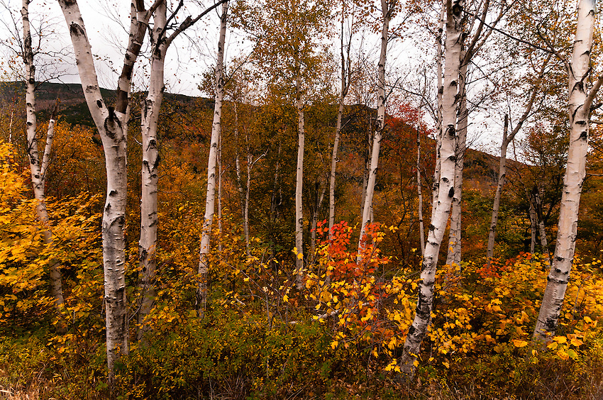 SUBJECT: A copse of Birch and colourful understory  IMAGE: against the silhouetted White Mountains, Birch trees stand like grave markers above a tangle of understory in Fall colours.