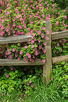 Split-rail fence and red-flowering currant