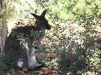 Stock image - Silver Bennett Wallaby hiding behind shrub in Paphos Animal Park, Cyprus.<br />