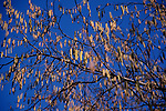 A87CY4 Silver Birch tree with catkins