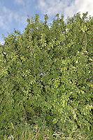 Buckthorn - Rhamnus cathartica Rhamnaceae. Height to 10m<br /> Spreading deciduous shrub or small tree. Bark Dark orange-brown, fissured with age. Branches With slender, slightly spiny shoots. Leaves Ovate to rounded, to 6cm long, finely toothed; veins converge towards leaf tip. Reproductive parts Flowers fragrant, with 4 green petals. Fruit is black, shiny and 8mm across. Status Local native, mainly on chalky soils.