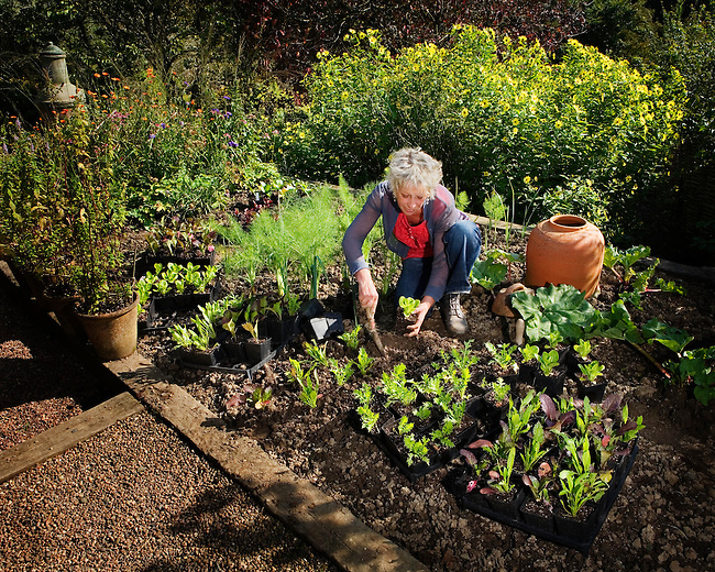 Carol Klein, gardening expert, television presenter and author, planting lettuces in her garden at Glebe Cottage.
