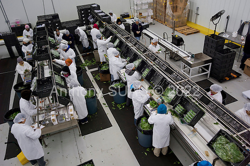 Okeechobee, Florida<br /> December 6, 2012<br /> <br /> Employees at SunFest Organic Farm, a multi-million dollar state of the art herb farm opened in 2012 pack plastic clamshells with herbs for shipping. Workers in this plant wear protected clothing, eye and hand protection and the herbs are cleaned with ultraviolet light in a vacuum sealed rom. <br /> <br /> The farming is 65 acres with 7 of those acres protected by onsite weather station controlled green houses that open and close when necessary. The organic herbs are sold wholesale to Whole Foods, Publix, Walmart and others. <br /> <br /> Farmer Joe Falco, formerly from Herb Time in California, designed the operation and it is backed by investor Cliff Rosen.