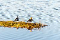 US, Florida, Merritt Island National Wildlife Refuge, Black Point Wildlife Drive. Northern Pintail ducks.