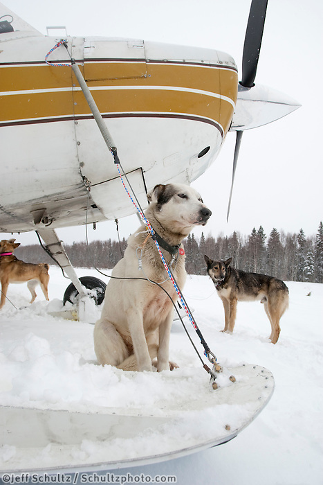 A Bruce Linton dog waits outside volunteer pilot Bruce Morony 's plane at Takotna for a ride back to McGrath on Thursday evening     Iditarod 2009
