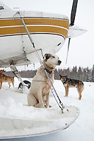 A Bruce Linton dog waits outside volunteer pilot Bruce Morony 's plane at Takotna for a ride back to McGrath on Thursday evening     Iditarod 2009