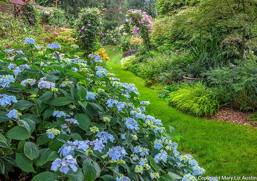 Vashon-Maury Island, WA: Pathway through summer perennial garden featuring Hydrangea 'Blue Deckle', Japanese forest grass, clematis, Japanese maple and lilies.