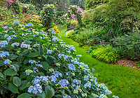 Vashon-Maury Island, WA: Pathway through summer perennial garden featuring Hydrangea 'Blue Deckle', Japanese forest grass, clematis, Japanese maple and lilies.