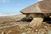 Looking at a mature sea turtle as this olive ridley (Lepidochelys olivacea) one can easily tell the gender: a female has a short tail, as seen here, while a male has a muscular, long tail clearly protruding past the edge of the carapace.   Wie bei allen erwachsenen Meeresschildkröten kann man auch bei der Oliv-Bastardschildkröte (Lepidochelys olivacea) die Weibchen an ihrem nur kurzen Schwanz erkennen. Erwachsene Männchen dagegen haben einen auffälligen, muskulösen Schwanz, der weit über das Panzerende herausragt.