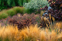 Stipa tenuissima, Pennisetum setaceum 'Rubrum', Phormium 'Baby Bronze', Lavender, Cotinus and Miscanthus (not blooming) in California meadow garden