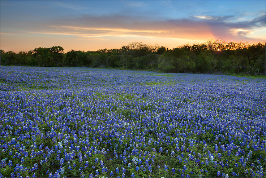 I arrived at this location at the last minute after checking several locations for a bluebonnet field to photograph at sunset. This image of our favorite Texas wildflowers was one of the few fields I found in the spring of 2013 that was nearly covered. The skies were nice this evening, and everything was pretty calm after a very windy day. This bluebonnet picture comes from the bluebonnet trail near Ennis, Texas.