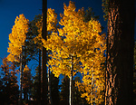 Autumn Aspen Trees,Lukachukai Mountain,Arizona
