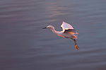 Snowy Egret Sunset Flight Ballona Creek Southern California