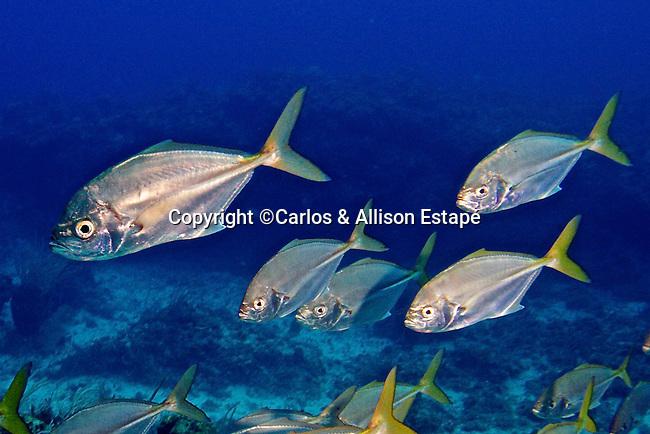 Uraspis secunda, Cottonmouth jack, Exuma, Bahamas