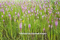 63899-05211 Prairie Blazing Star (Liatris pycnostachya) in prairie Marion Co. IL