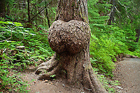 Huge burl at the base of a tree,  Winner Creek, Chugach National Forest, Alaska, USA