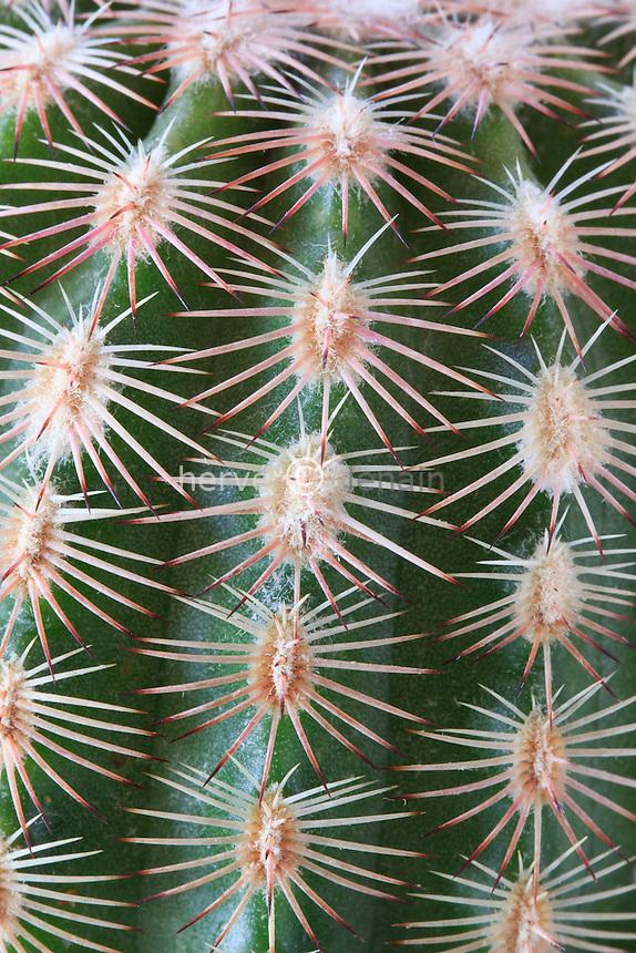 Echinocereus pectinatus, détail des épines et aréoles // Echinocereus pectinatus, detail of the spines and areoles