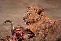 656251002 a wild female african lion panthera leo feeds on a cape buffalo in amboseli national park kenya