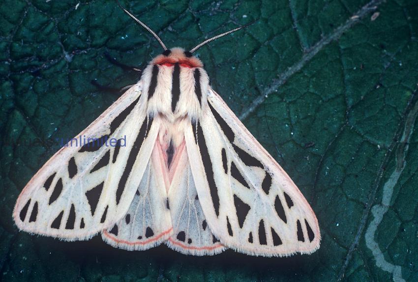 Arge Tiger Moth (Grammia arge), Family Arctiidae.