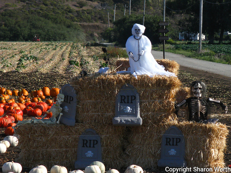 A ghost and skeletons adorn haybales in a field of pumpkins waiting to become jack-o'-lanterns in a field north of Half Moon Bay.