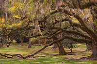 Spanish moss hanging from the trees is a common sight in the southern states of the USA.