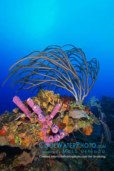 Porous Sea Rods, Pseudoplexaura sp., Stove-pipe Sponge, Aplysina archeri, many kinds of sponge species and stony corals, thriving, West End, Grand Bahama, Atlantic Ocean