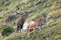 Hirsche - Deers