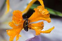 Rapsglanzkäfer, Rapskäfer als Blütenbesucher auf Krokus, Rapsglanz-Käfer, Meligethes aeneus, Brassicogethes aeneus, pollen beetle, Glanzkäfer, Nitidulidae