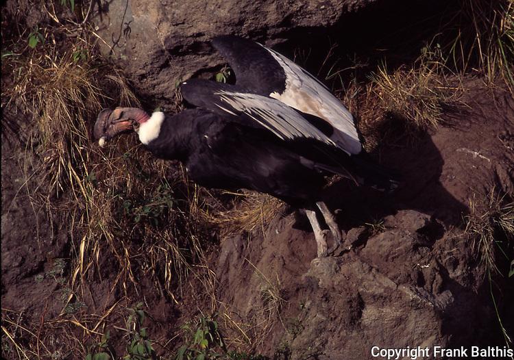 andean condor take-off