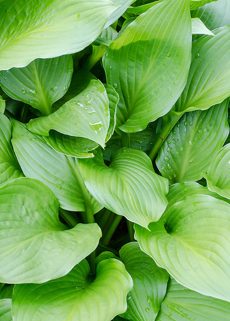 Hosta leaves form patters in a suburban garden in northeastern Illinois