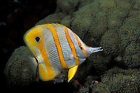 A Beaked Coralfish or Copperband Butterflyfish, Chelmon rostratus, browses among coralimorphs. Sail Rock, Thailand, Gulf of Thailand, Pacific Ocean