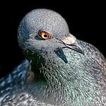 Pigeon Pose - Pigeons of Bolsa Chica, California. Photograph by Alan Mahood.