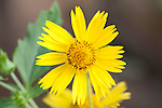 Yellow Daisy shrub flower, Near Lalla Takerkoust, South Marrakech, Morocco,