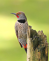 Northern flicker male perched on a dead snag.<br />