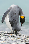 A King Penguin (Aptenodytes patagonicus) preening, Salisbury Plain, South Georgia Island, South Atlantic Ocean