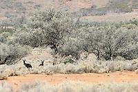 Western Grey Kangaroos in the Gawler Ranges National Park, South Australia, Australia