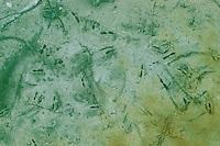 Bachmuschel, Spuren am Gewässergund, Gemeine Flussmuschel, Kleine Flussmuschel, Flußmuschel, Unio crassus, Thick shelled river mussel, freshwater mussel, freshwater mussels, Flussmuscheln, Unionidae