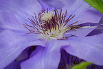 Blue Clematis in bloom