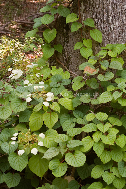 Schizophragma hydrangeoides (Climbing Hydrangea) Moonlight vine in bloom on tree