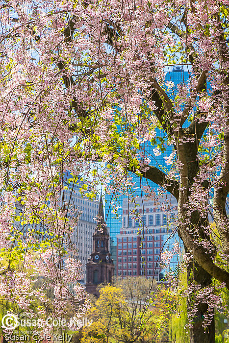 Cherry blossoms and a view of Boylston Street, Boston, Massachusetts, USA