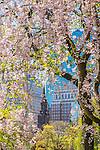 Cherry blossoms and a view of Boylston Street, Boston, Massachusetts, USA