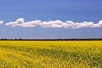 Mustard Field in Bloom<br />