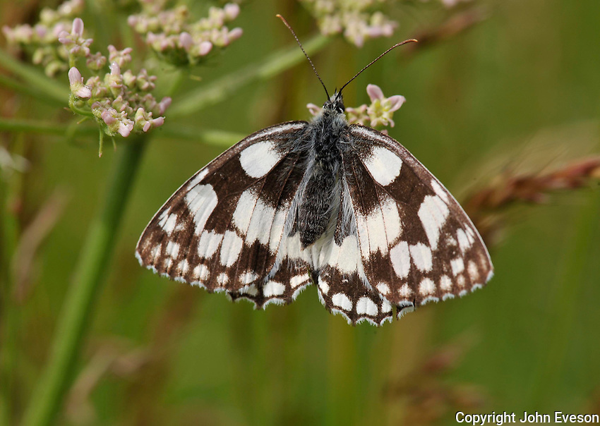 Marbled White Butterfly, Melannargia galathea , Great Missenden, Buckinghamshire....Copyright..John Eveson, Dinkling Green Farm, Whitewell, Clitheroe, Lancashire. BB7 3BN.01995 61280. 07973 482705.j.r.eveson@btinternet.com.www.johneveson.com