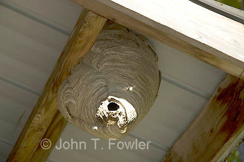 Aerial Yellowjacket nest in building eaves, Dolichovespula arenaria